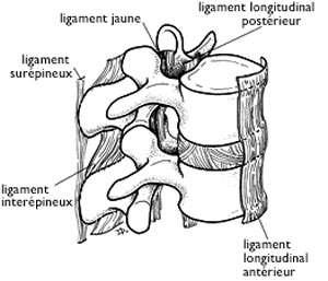 Ligaments vertébraux. © DR