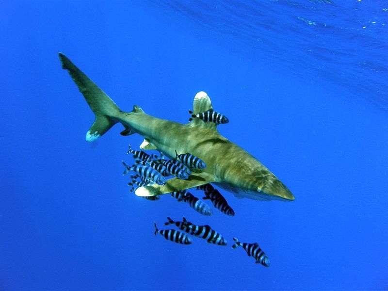 Requin longimane et sa cour. © Cvf-ps, GNU FDL Version 1.2