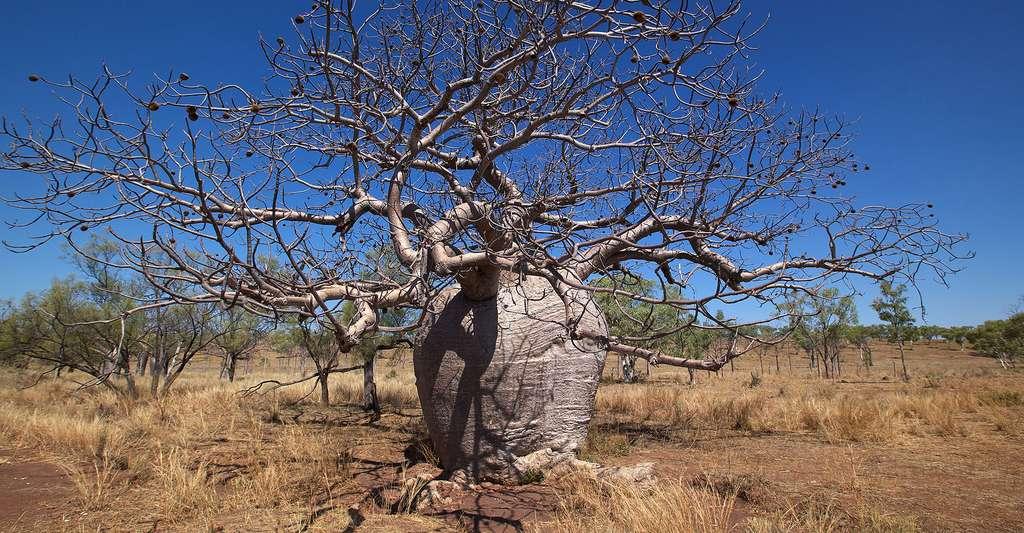 Comment déterminer l'âge d'un baobab ? © Julie Burgher, Flickr, CC by-nc 2.0