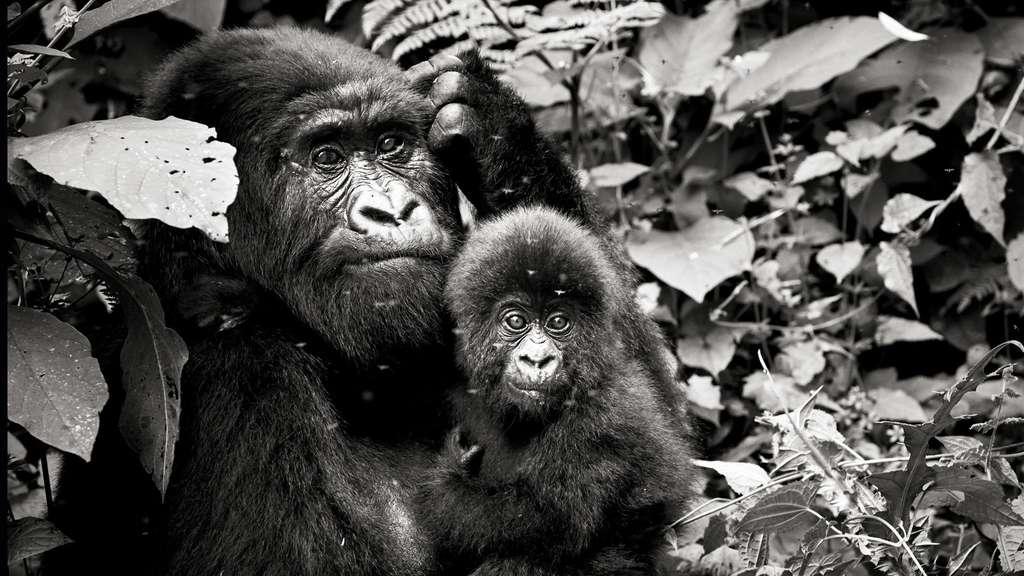 Jeune gorille âgé de 6 mois