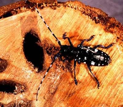 Longicorne asiatique : Anoplophora glabripennis. © USDA, domaine public