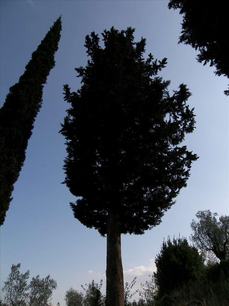 Le cyprès de Provence peut atteindre 30 mètres de hauteur. © aldoaldoz, Flickr CC y nc sa 2.0