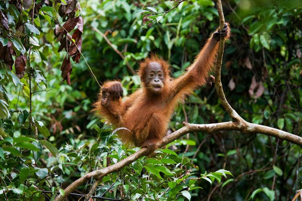 Comment l'alimentation a-t-elle évolué chez les grands singes ? Et chez l'Homme ? © gudkovandrey, Fotolia