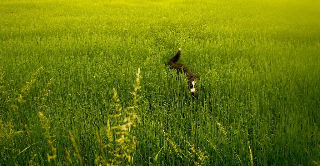 Pour un chien, manger de l'herbe occasionnellement n'est en soi pas un comportement anormal. Attention toutefois, car ce comportement peut être à l'origine d'une ingestion de toxiques (engrais, pesticides, etc.) ou de parasites. © wiskas, Pixabay, CC0 Creative Commons