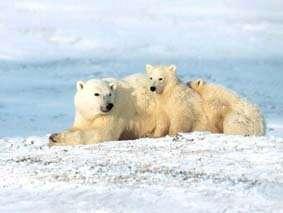 La couverture de glace en Arctique réduit de 8 % par an Les ours polaires sont les premiers menacés par ce changement... (Crédits : www.art-screensavers.com)