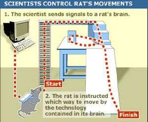 Principe de l'expérience du rat « télécommandé » par ordinateur. © Centre Suny Health