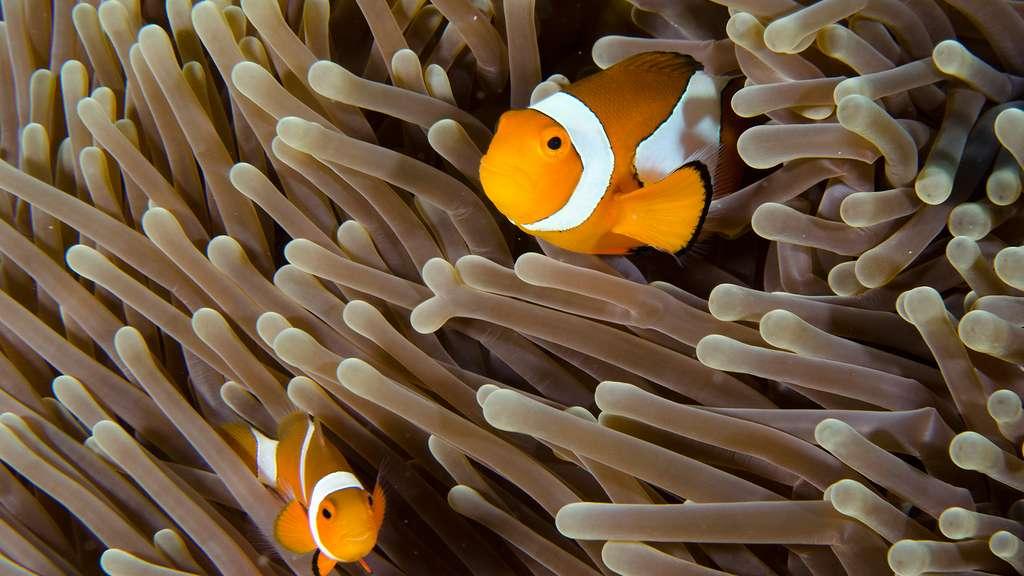 Des poissons-clowns protégeant leur anémone