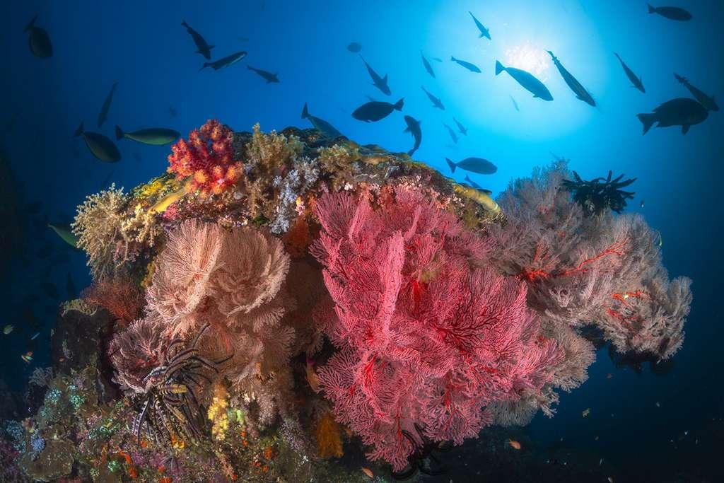 Misool, patate de corail colonisée par une grande diversité de gorgones de différentes couleurs. © Gabriel Barathieu, tous droits réservés