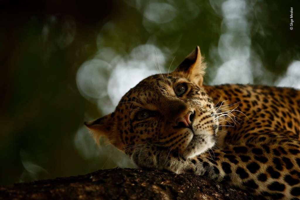 Mathoja, une femelle léopard vivant dans la réserve de Mashatu, au Botswana, se repose. © Skye Meaker