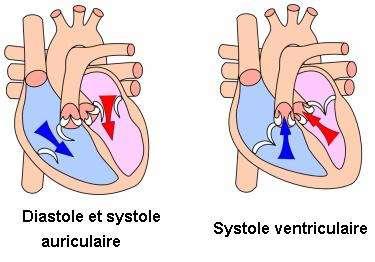 En diastole, les oreillettes (compartiments du haut) se remplissent de sang. Les valves auriculoventriculaires (en blanc) s'ouvrent lors de la systole auriculaire, et le sang passe des oreillettes aux ventricules. Elles se referment et lors de la systole ventriculaire, le sang est propulsé dans les artères. En bleu, le sang non oxygéné va rejoindre l'artère pulmonaire pour se recharger en O2. En rouge, le sang qui revient des poumons, riche en O2 envoyé dans tout l'organisme par l'artère aorte. © Wapcaplet, Wikipédia, cc by sa 3.0