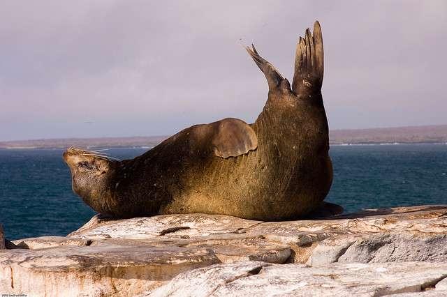 Dans des îles comme les Galápagos où vit ce lion de mer facétieux, certaines espèces sont endémiques : on ne les trouve pas ailleurs sur Terre. En ce sens, ces zones sont irremplaçables et doivent donc être protégées en priorité. © Andrew Miller, Flickr, CC by-nc 2.0