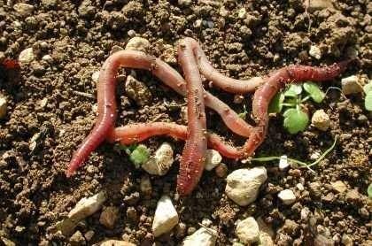 Les vers de terre, des alliés du jardin. © DR