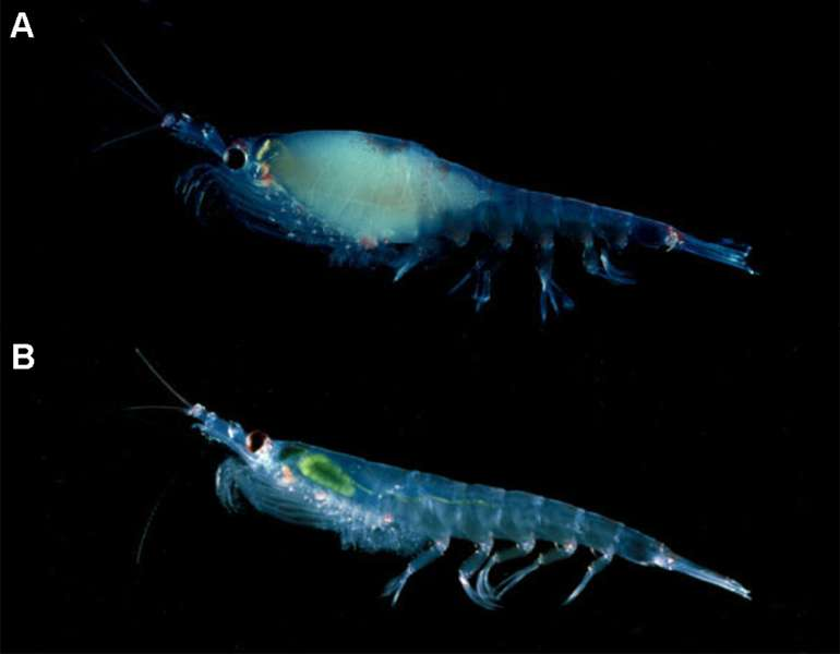 Krill gravide. © Langdon Ketin and Robin Ross - Public Library of Science - CCA 2.5 license