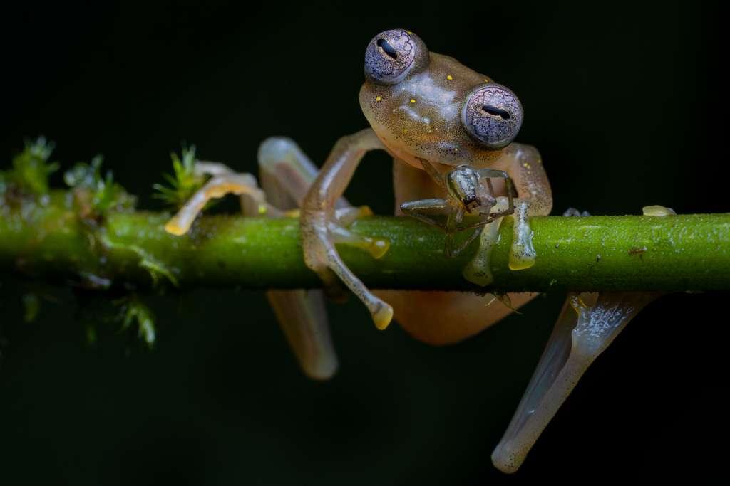 Cette photo serait la toute première d'une grenouille de verre en train de se nourrir d'une araignée. Celle-ci, que l'on ne trouve que dans une zone étroite située au pied des Andes, est menacée par la perte de son habitat et la contamination de son environnement (élevage de bétail, agriculture et exploitation minière). © Jaime Culebras, Wildlife Photographer of the Year 2020