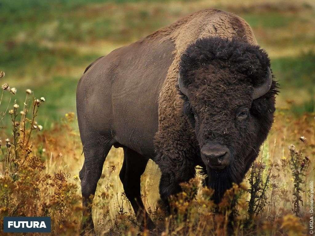 Bison d'Amérique du Nord Bison bison