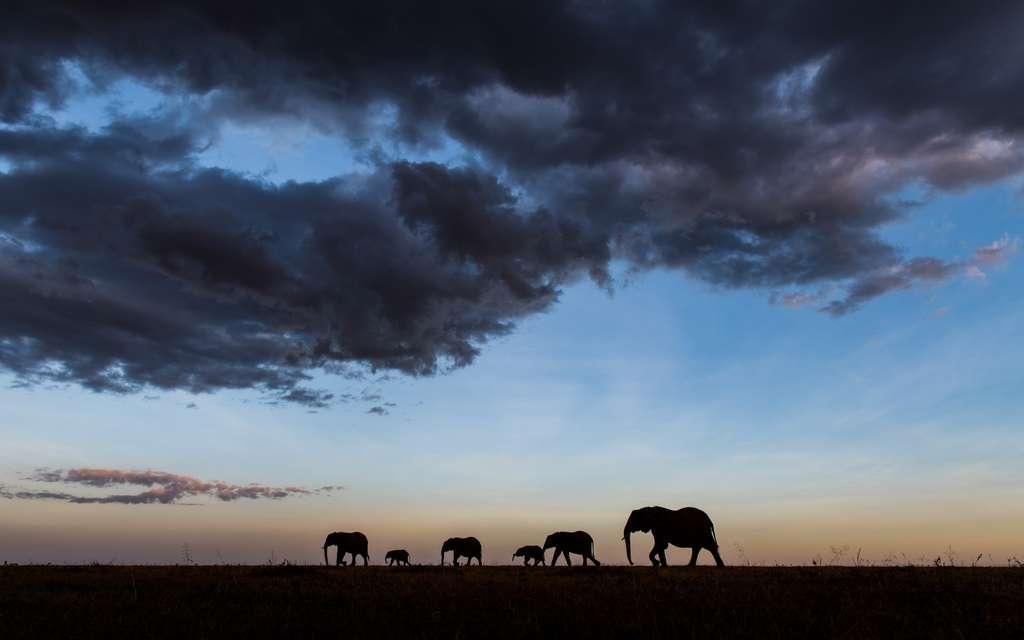 L'éléphant reste l'un des chouchous des amoureux de la nature et des photographes. Mais il est menacé. Il est chassé pour son ivoire ou sa viande ou bien mis en difficulté par la disparition de son habitat. Et parfois en conflit avec les populations humaines. « Nous devons tous nous mobiliser pour le protéger », souligne Paula Kahumbu, fondateur de Wildlife Direct. © Gurcharan Roopra, New Big 5