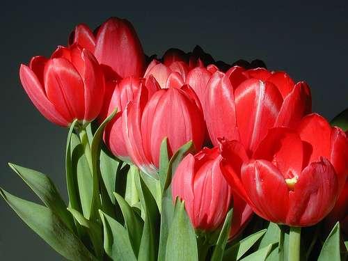 Les tulipes, reines des fleurs à bulbe. © FlikR, photogestion, Creative Commons