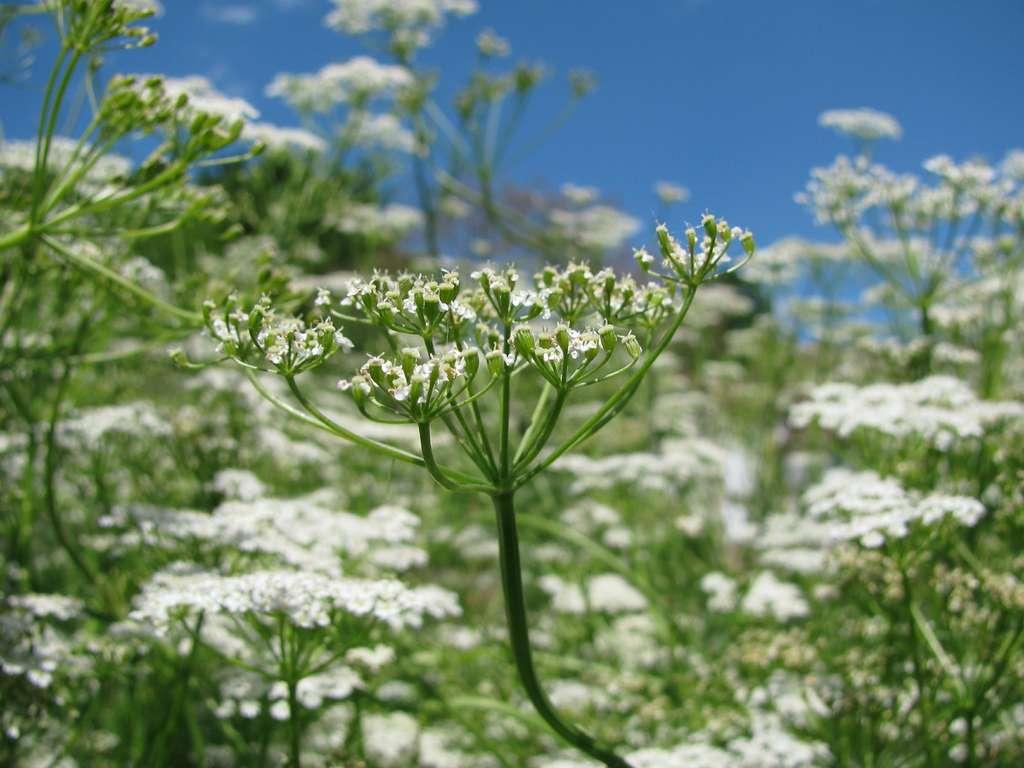 Le cumin donne des petites fleurs blanches semblables à celles de la carotte. © Heike Rau, Adobe Stock