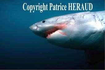 Adopterez-vous un jour votre requin blanc ?