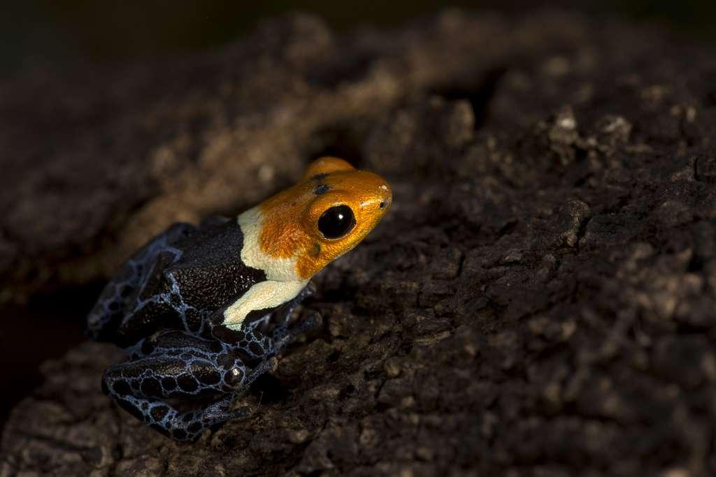 les dendrobates Ranitomeya fantastica, des amphibiens fascinants