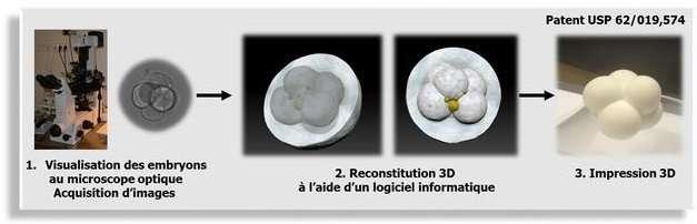 Schéma de l'opération. Une série d'images est obtenue avec un microscope optique. Leur empilement permet la constitution, sur ordinateur, d'un modèle en trois dimensions qui peut être confié à une imprimante 3D. On obtient finalement une copie très fidèle, aux couleurs près, de l'embryon. © CHU Montpellier, Inserm, UM1, Tridilogy