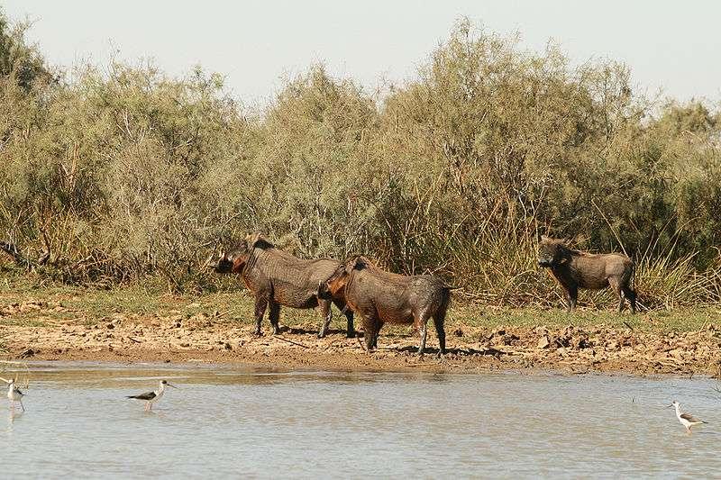 Phacochères dans la réserve de Djoudj au Sénégal. © Remi Jouan, Wikipédia, GNU FDL 1.2