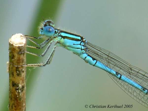 Agrion de Vander Linden, la Naïade aux yeux bleus