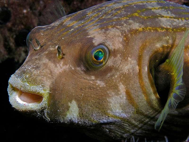 Un poisson-globe du genre Tetraodon, au Timor oriental