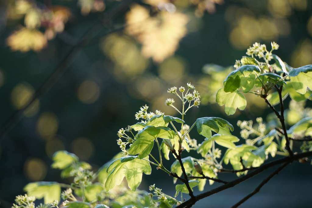 L'érable champêtre. © Antje Fratte, Flickr