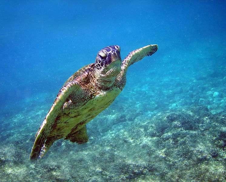 La tortue verte est inscrite sur la Liste rouge nationale, elle fait partie des espèces menacées en France. © Brocken Inaglory, Wikipédia, GNU 1.2