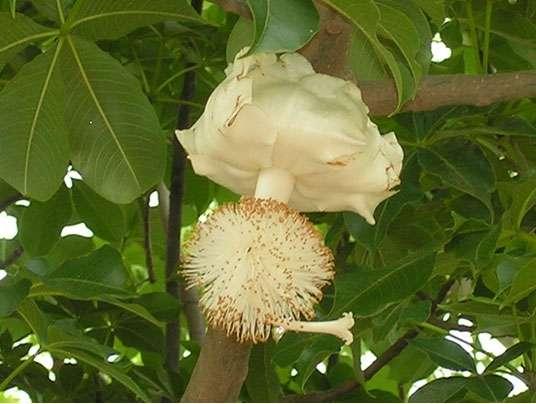 Fleur de baobab (Adansonia digitata). © S. Garnaud - Reproduction et utilisation interdites