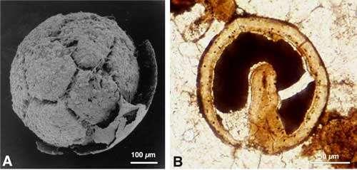 Voici deux métazoaires précambriens (env. 580 millions d'années) de Chine du Sud : en A, une division cellulaire et en B, un embryon au stade gastrula (organisme bilatérien). © cliché S.-H. Xiao ; voir Xiao S. H. & A. H., Knoll (2000) / cliché J.-Y. Chen ; voir Chen, J.-Y. et al. (2000)