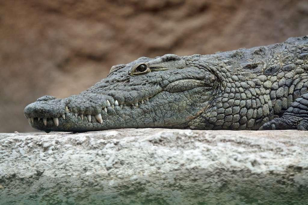 Un crocodile du Nil. © Leigh Bedford, Wikipédia, CC by 2.0
