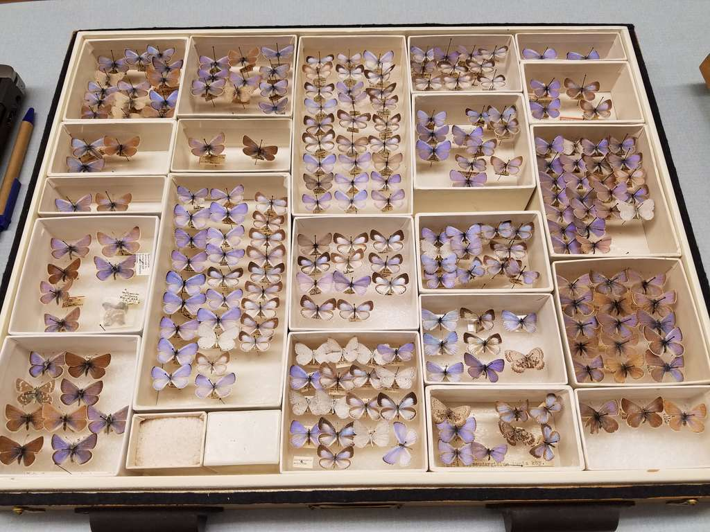 As coleções de insetos do museu permitem a análise morfológica e de DNA várias décadas após a coleta do espécime.  © Field Museum