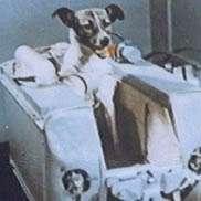 Laika avant le lancement. © Wikipedia