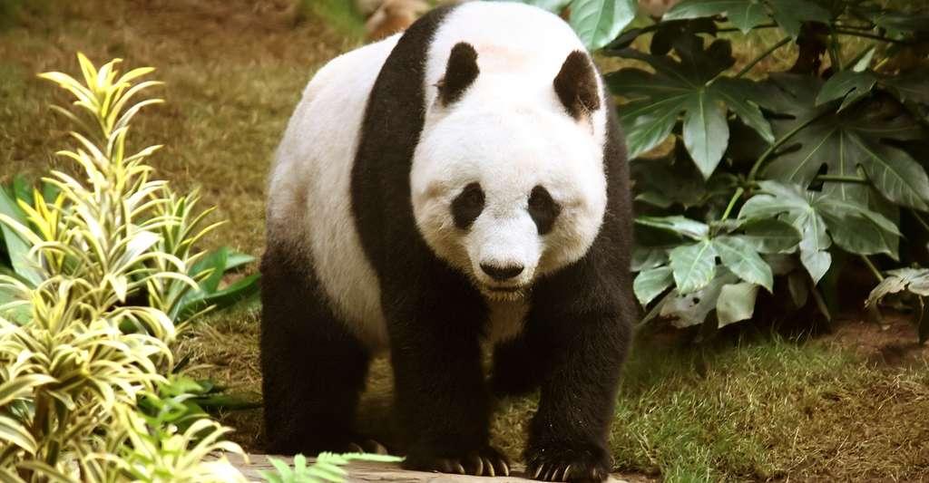 L'environnement favorise-t-il la réplication des individus capables de communiquer ? Ici, un panda géant. © J. Patrisk Kischer, CC by-nc 3.0