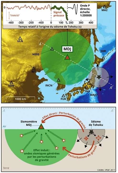 La carte, en haut, indique la localisation des sismomètres (triangles) ayant détecté un signal précoce à la suite du séisme de Tohoku (étoile) du 11 mars 2011 (Japon, magnitude 9,1). On se focalise ici sur une station située à l'est de la Chine (MDJ), à 1.280 km du séisme. À ces distances, les ondes sismiques directes arrivent environ 165 s après le temps d'origine, comme indiqué dans l'encart, en haut sur la carte. Cependant, bien que d'amplitude beaucoup plus faible, un signal clair est détecté par le sismomètre avant ces ondes directes (signal précoce). L'origine de ce signal se comprend en se plaçant à des temps compris entre le temps d'origine et celui de l'arrivée des ondes : par exemple, environ 55 s après le déclenchement du séisme, les ondes sismiques se sont propagées dans le volume indiqué en gris sur la carte, et sont sur le point d'atteindre la station MAJO. À l'intérieur de ce volume, les ondes causent des compressions et des dilatations du milieu, comme indiqué dans la coupe du bas. La contribution globale de toutes ces zones, dont la masse change, conduit à une modification immédiate de la gravité détectée par le sismomètre (effet direct). Le champ gravitationnel est également perturbé partout dans la terre, et chacune de ces perturbations est une force à l'origine d'ondes sismiques secondaires (effet induit). Dans le volume à proximité du sismomètre (indiqué en vert), ce champ sismique secondaire arrive avant les ondes directes. Le sismomètre enregistre ainsi, avant les ondes sismiques directes, un signal élasto-gravitaire découlant des effets direct et induit des perturbations de gravité. © IPGP