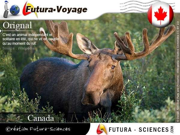 Orignal du canada