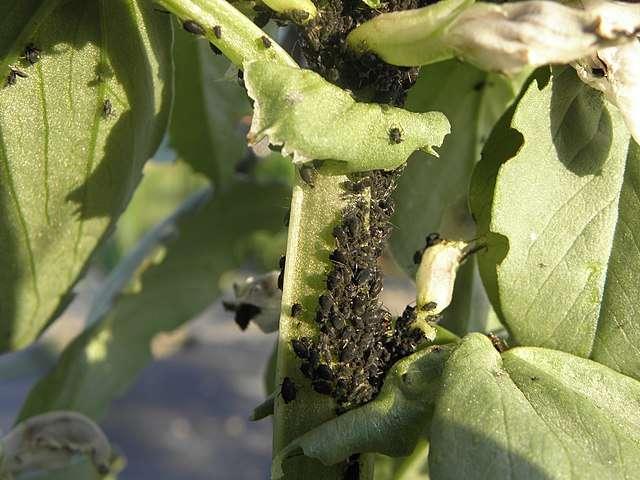 Colonie de pucerons noirs attirés par les fèves. © Rob Hille, Domaine public