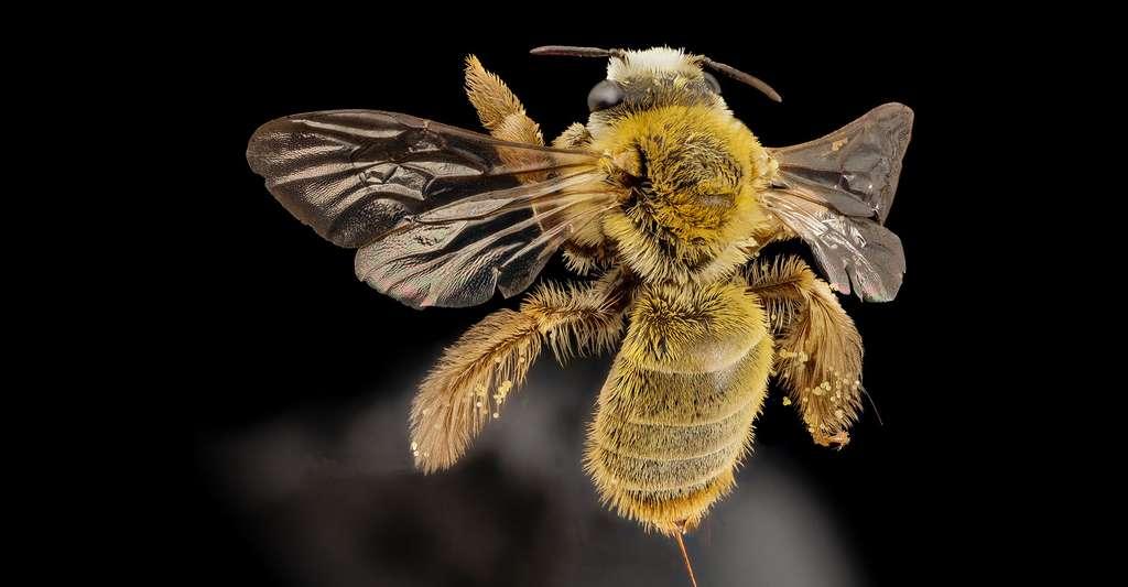 La danse des abeilles est un langage, au sens biologique du terme. Ici, une abeille du Brésil. © USGS Bee Inventory and Monitoring Lab, CC by-nc 2.0