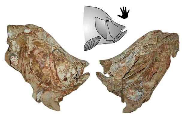 Crâne du poisson tselfatiiforme Concavotectum moroccensis, avec sa reconstitution et une main pour l'échelle. © Cavin & Forey (2008)