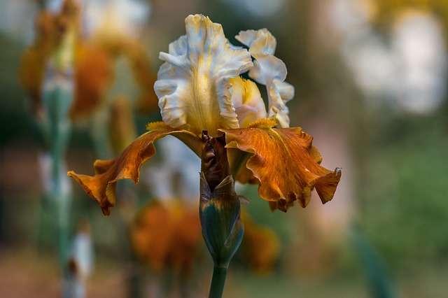 Les iris ont des couleurs très variées. © Edmondlafoto, Pixabay, DP