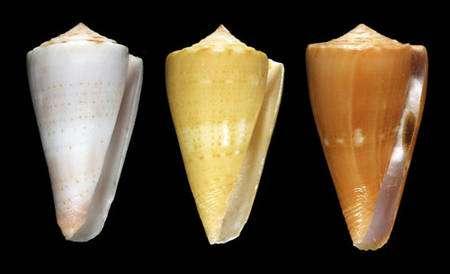 Fig. 14 Conus daucus © Jean-Pierre Pointier - Tous droits réservés