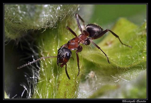 Fourmi noire (Lasius niger). © C Quintin, Flickr, cc by nc sa 2.0
