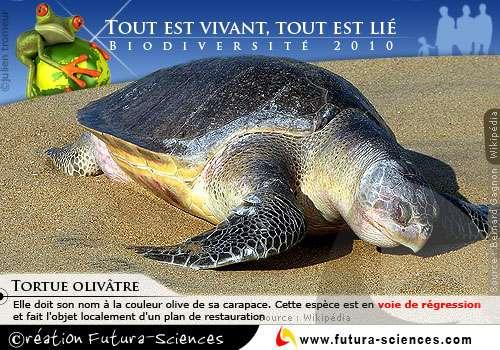 Biodiversité : Tortue Olivâtre