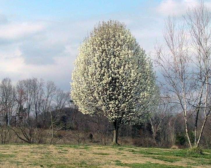 Le poirier à fleurs, arbre d'ornement. © Domaine public