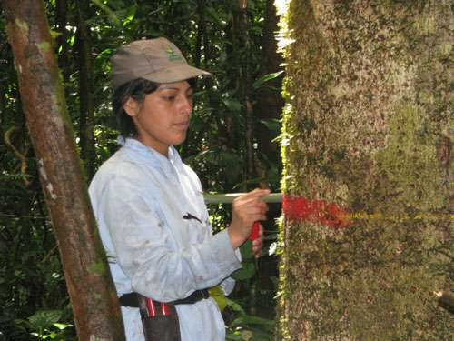 Marquage d'arbres au Pérou dans le cadre d'une étude, coordonnée par Rainfor, menée sur plus de 200.000 sujets. © Roel Brienen