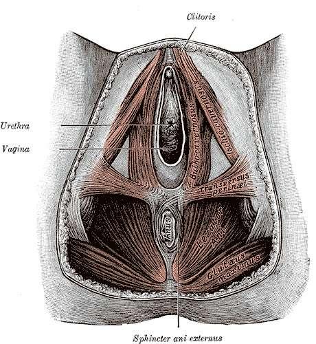 La rééducation périnéale, en traitement de l'incontinence, consiste à renforcer les muscles du périnée (ici, schéma des muscles du périnée chez une femme). © Gray's Anatomy, DP