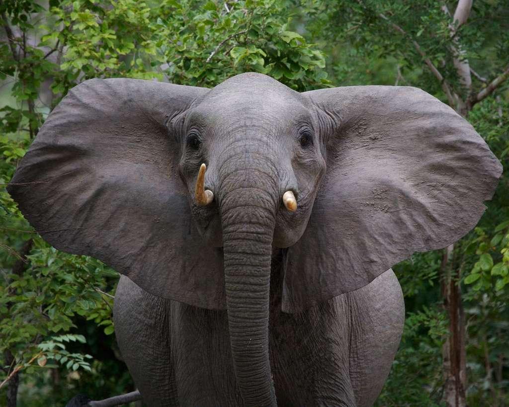 La survie des éléphants de Namibie peut être compromise lors des années sèches. © Cris Pierry, Flickr, CC by-nc-nd 2.0