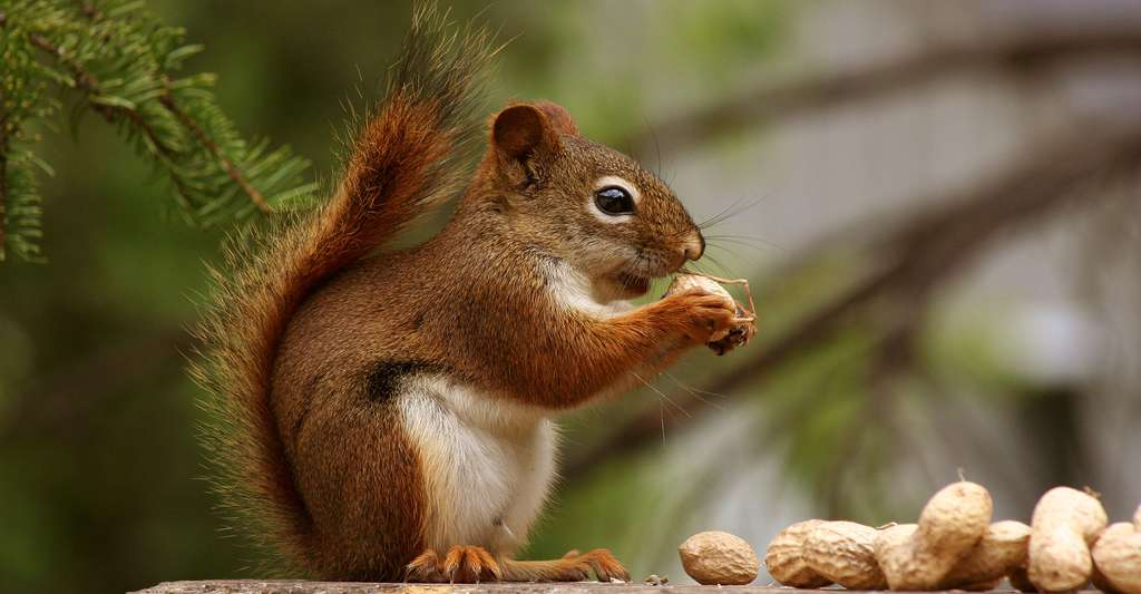 Écureuil roux du Canada. © Robert Taylor, CC By 2.0